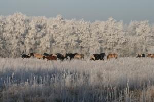 kudde in de winter